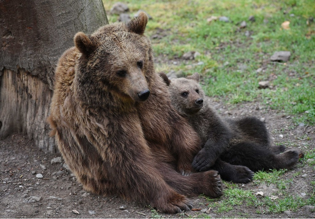発情期の雄から子ども守る母熊、人を盾に 研究