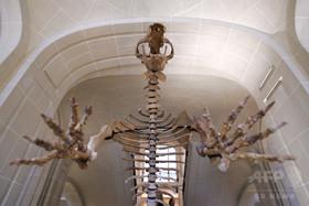 クマの骨で新発見、アイルランドの人類史を書き換え