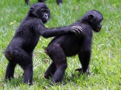 類人猿にも「人間に似た感情」、仲間をハグで慰める 米研究