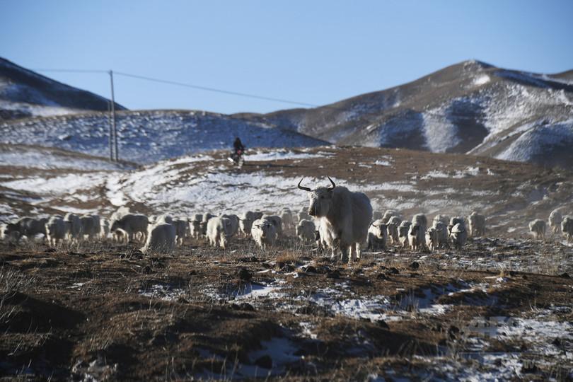 親子2代、中国の白ヤクを守る 甘粛省