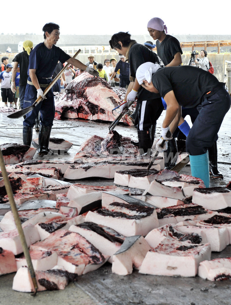 ツチクジラ捕鯨解禁、南房総市で初水揚げ