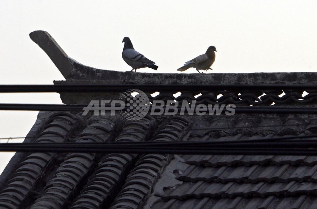 国慶節、北京でハトに「飛行禁止令」?!