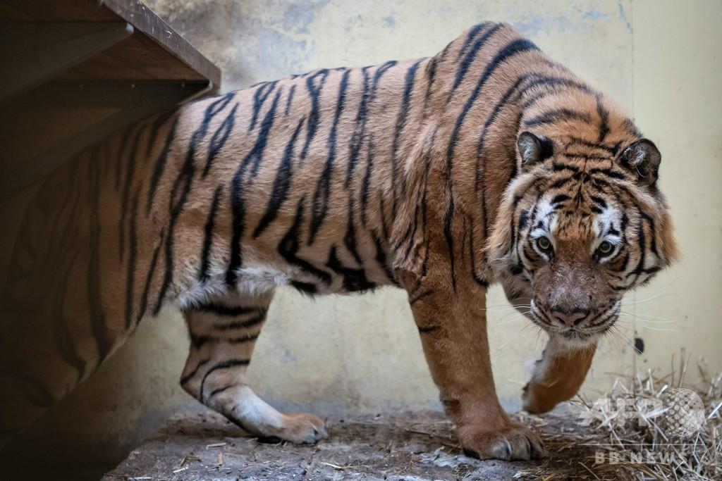 ポーランドで保護されたトラ9頭、受け入れ先の動物園で徐々に回復中