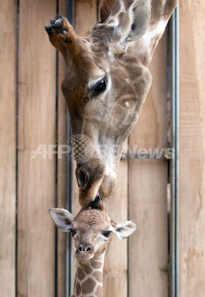 すくすく成長中、キリンの赤ちゃん ドイツ