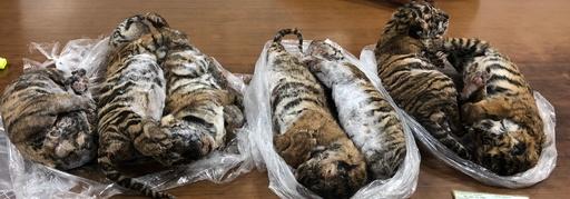 冷凍されたトラ7頭の死骸発見、密輸犯ら逮捕 ベトナム