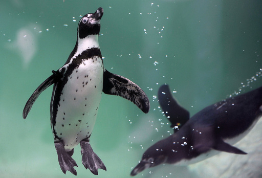 ペンギン保護のため鉄鉱石の採掘計画を却下 チリ政府