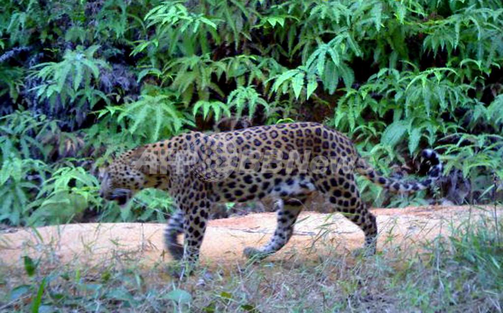 マレーシア初、野生のヒョウの撮影に成功