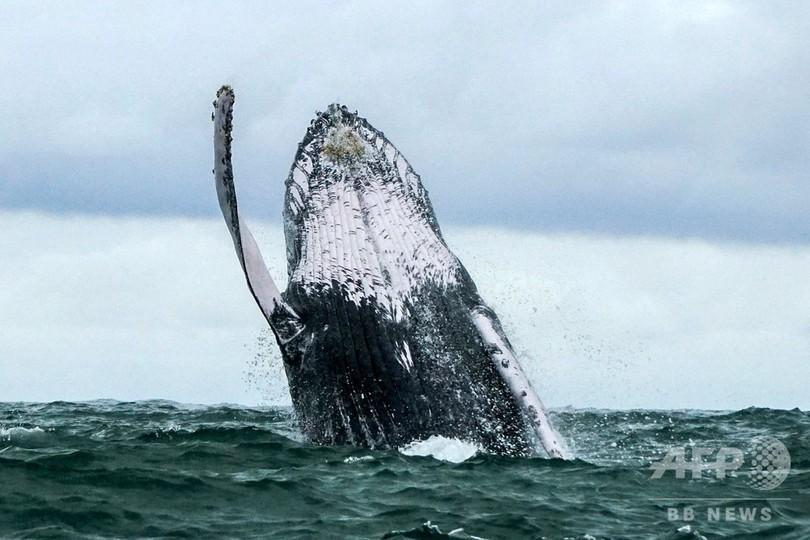 IWC、商業捕鯨再開案を否決 日本は脱退示唆
