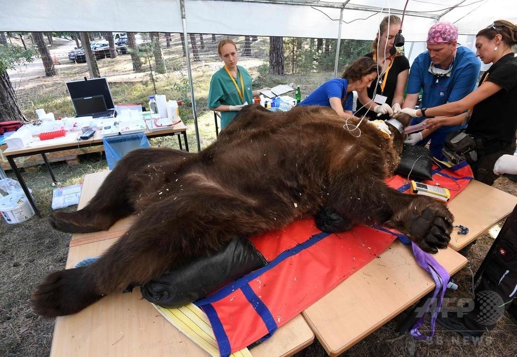 クマが寝てる間に… 体重250キロの歯科検診 ドイツ