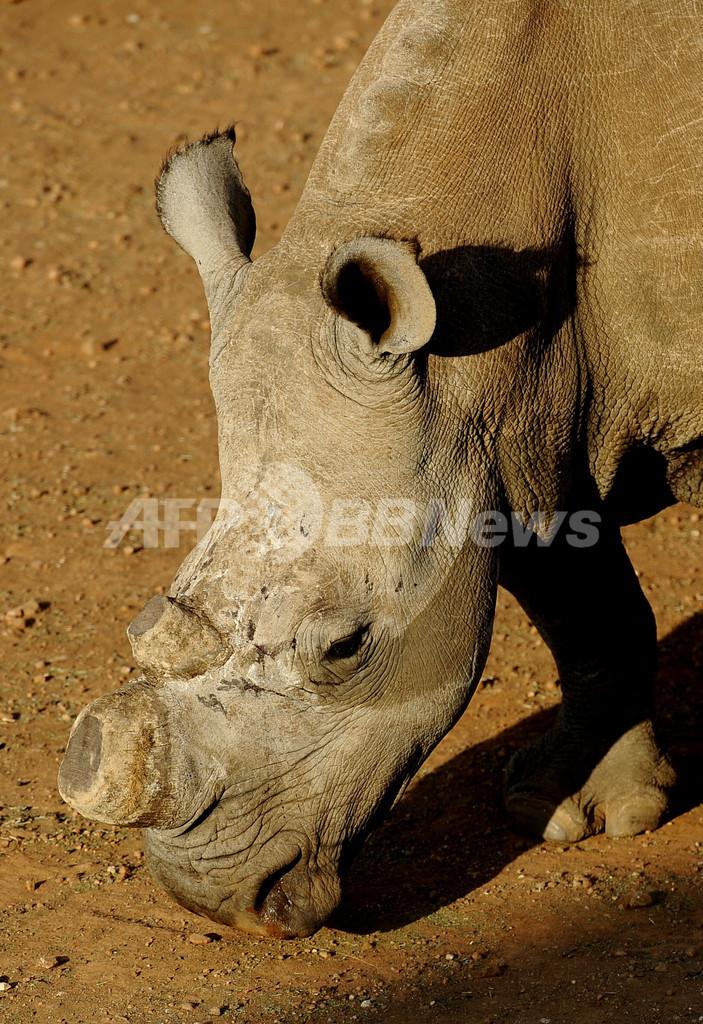 密猟で角奪われるサイたち、南アフリカ