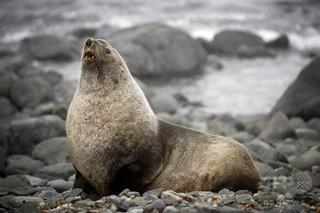 南大西洋のオットセイ生態に変化、気候変動が原因か