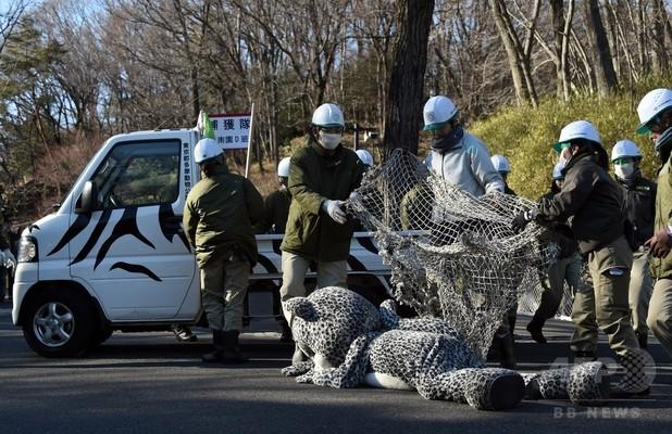 【AFP記者コラム】動物園から脱走した「ユキヒョウ」を追え!