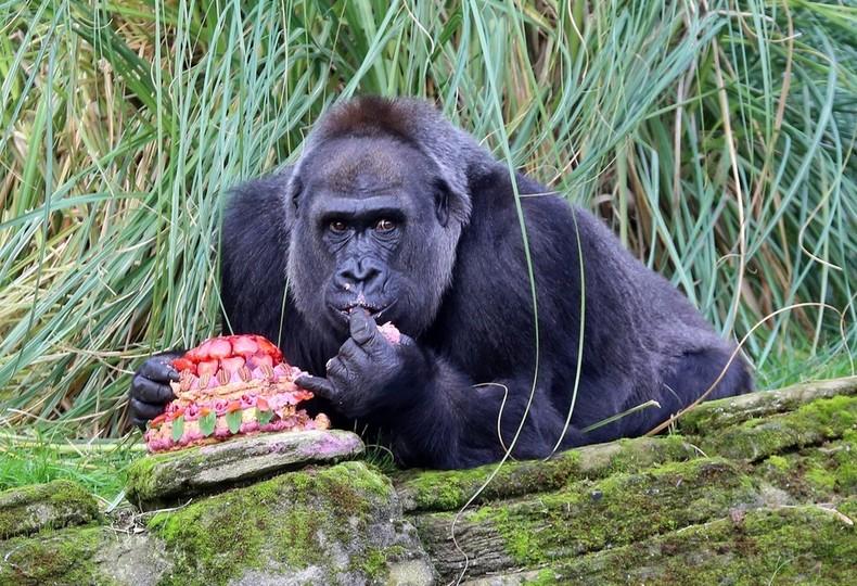 40歳の誕生日を迎えたゴリラ、ケーキでお祝い ロンドン動物園