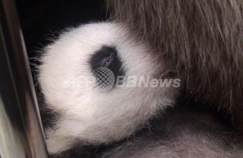 目が開いた台湾の赤ちゃんパンダ