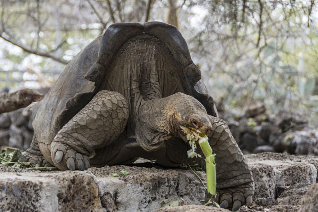 「絶滅種」のガラパゴスゾウガメ、飼育下で繁殖へ