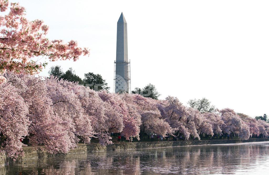 米首都ワシントンD.C.、満開の桜