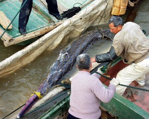 淡水魚の王「ハシナガチョウザメ」が機能的絶滅 中国