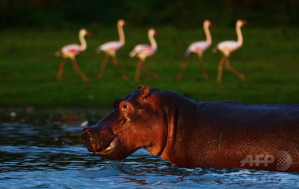 ナミビアで炭疽発生か カバ100頭以上死ぬ