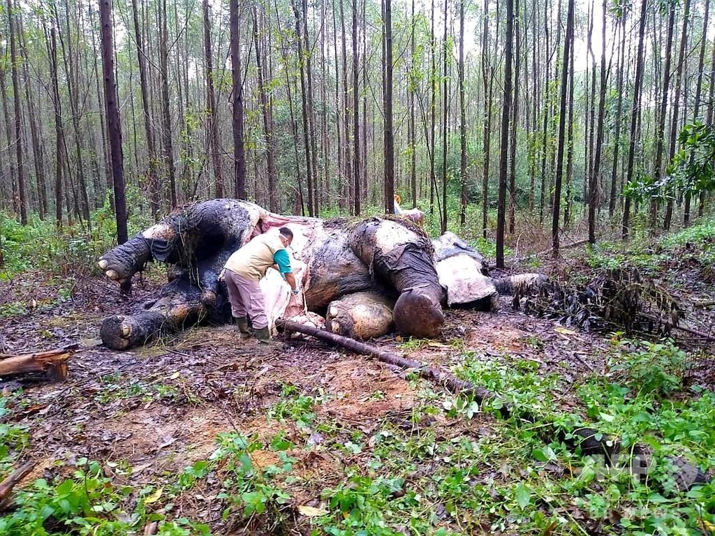頭部切断、牙奪われたスマトラゾウの死骸発見 インドネシア