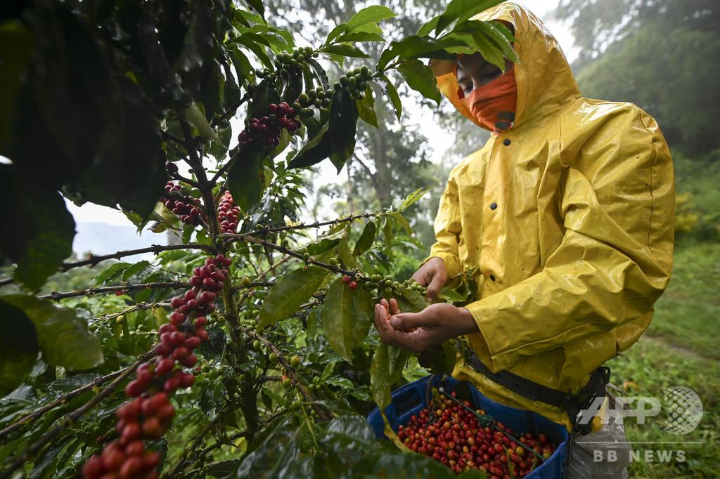最高級コーヒー豆、利益は1杯2円以下 価格暴落に苦しむ農家 コロンビア