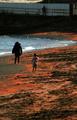 南米チリで謎の小エビ大量発生、赤く染まった海岸