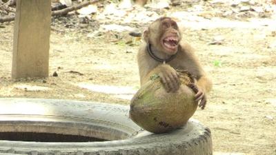 動画:ココナツ収穫はサルにお任せ、マレーシアの訓練学校