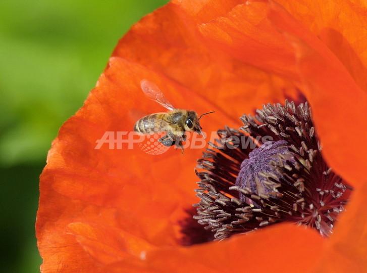 花粉媒介虫の「野生個体」減少で農業に打撃、研究