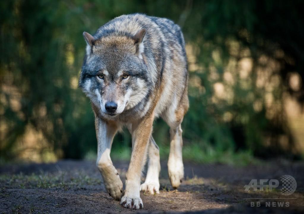 ベルギー北部で野生のオオカミ目撃、1世紀以上ぶり