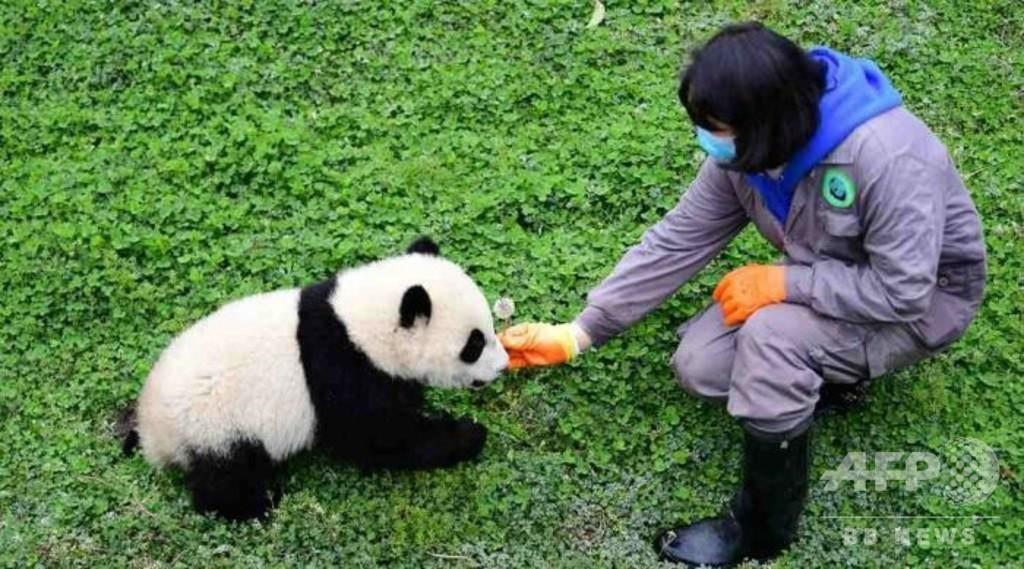 ジャイアントパンダ保護研究センターにも間接的影響、中国のウイルス感染流行