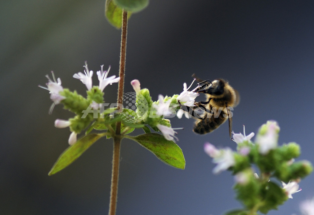 ハチの経済価値は予想以上に大、独研究