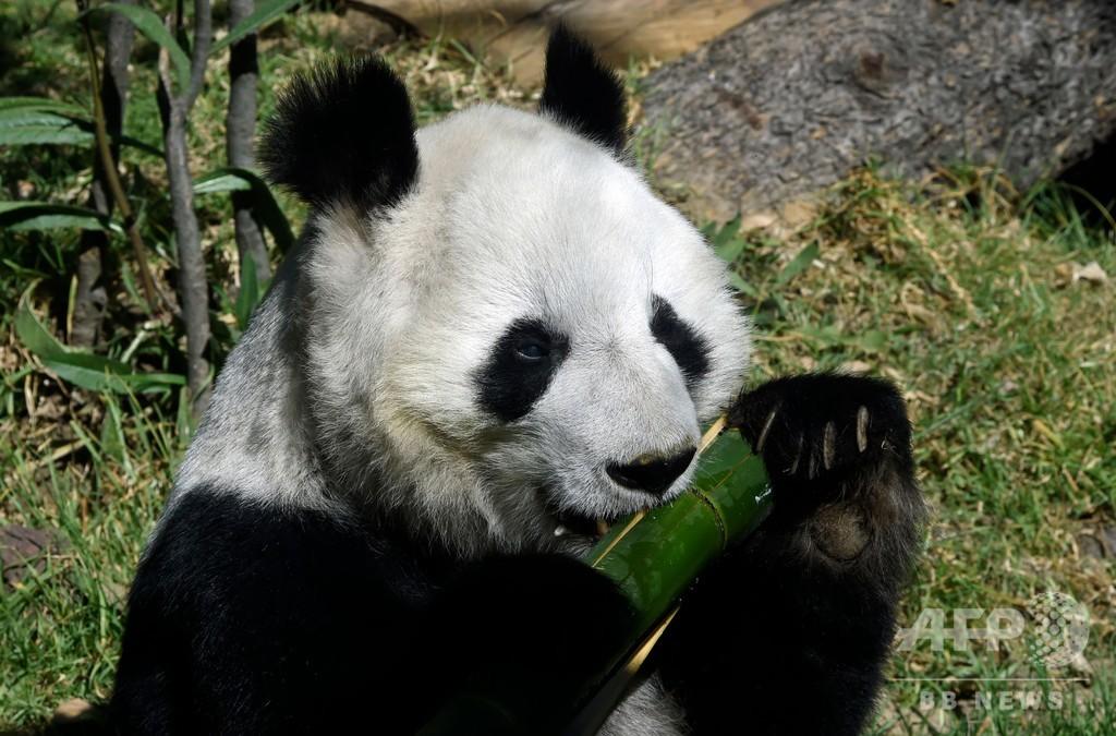 世界で2頭だけ、中国に所有権のないメキシコのパンダたち