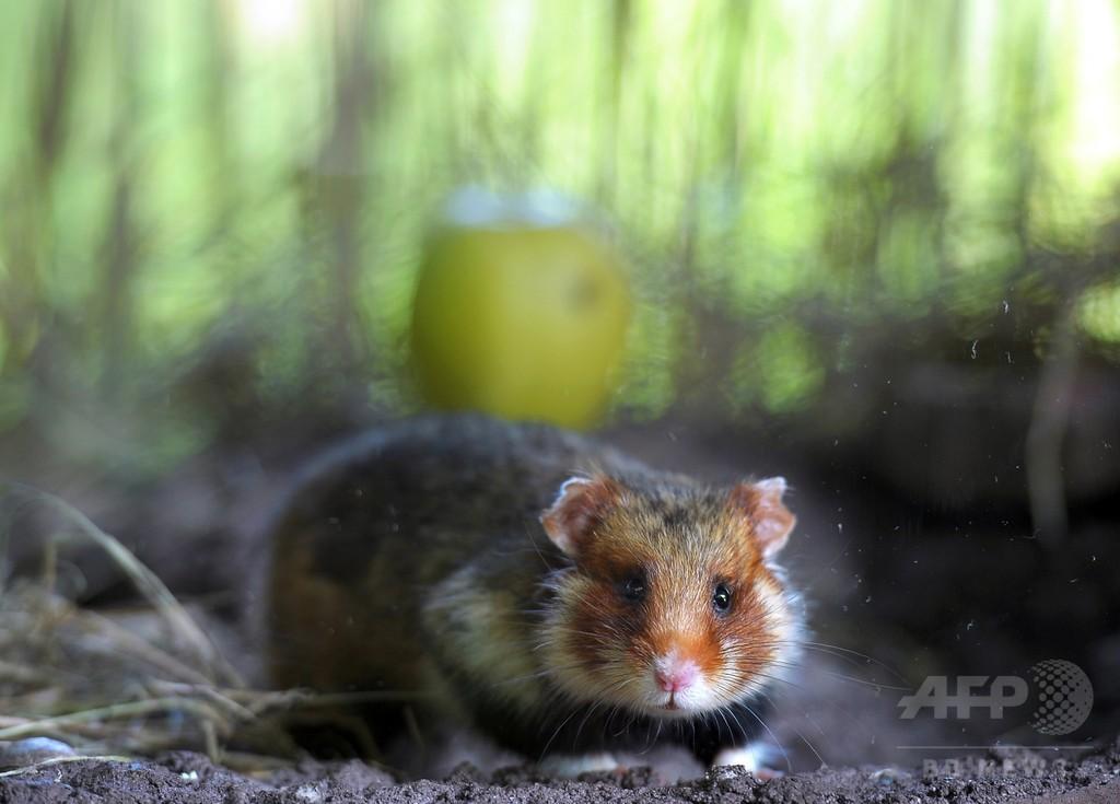 ハムスター、ビタミン不足で自分の子を食い殺す 単一栽培に警鐘