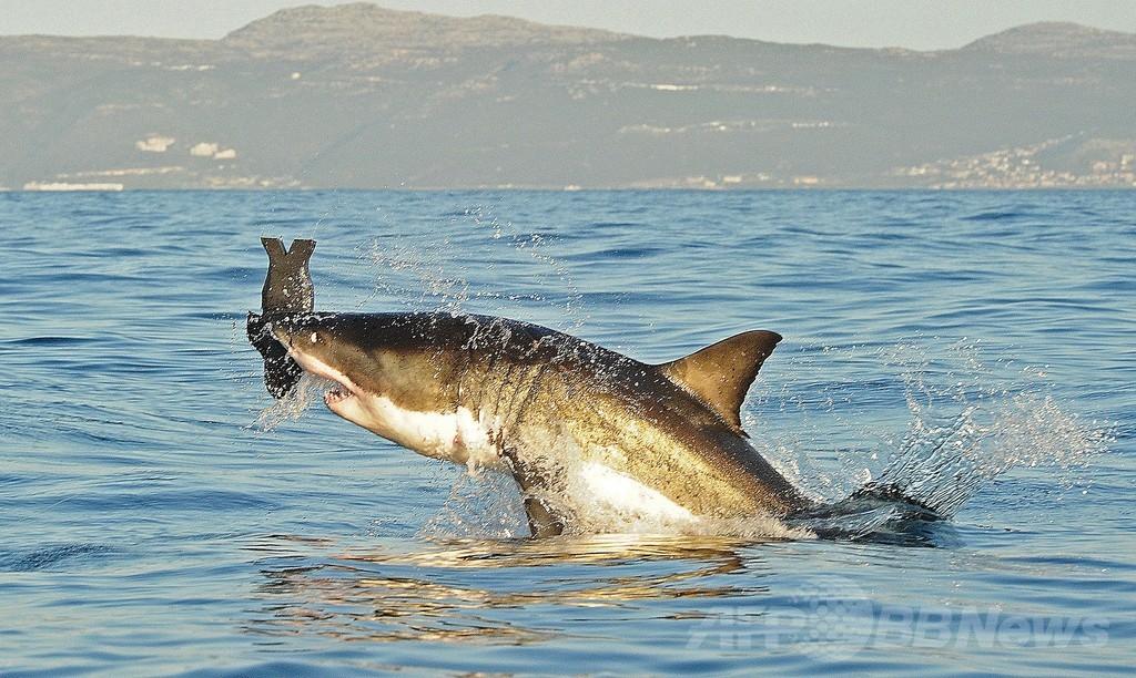 米西海岸沖のホホジロザメ、個体数増加で絶滅の危機なし
