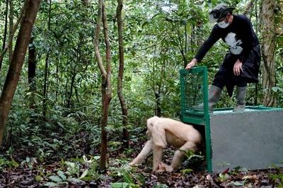 極めて珍しいアルビノのオランウータン、森に帰る インドネシア