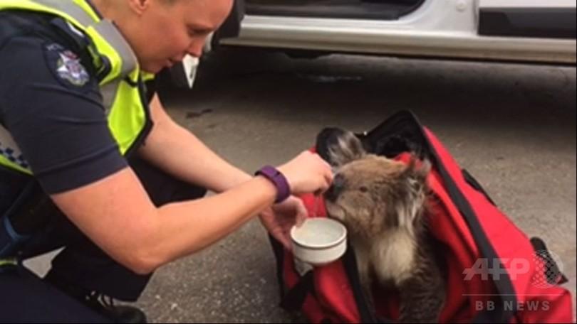 森林火災からコアラ救出、意識不明も元気に回復 豪州