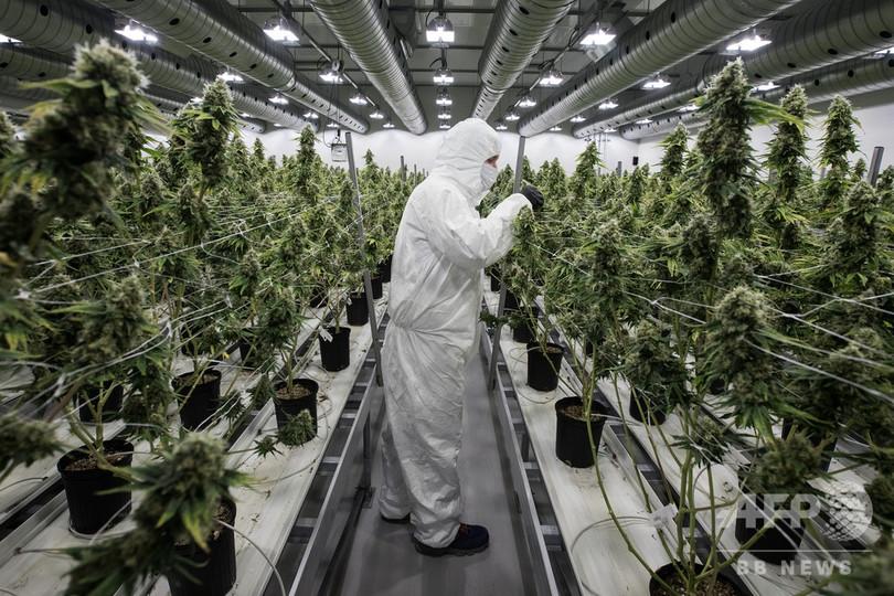 カナダの11月失業率、1976年以降の最低に 大麻合法化が貢献