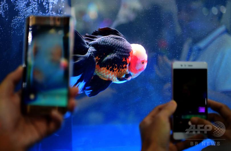 初夏に似合うあでやかな金魚 世界大会が福州で開催