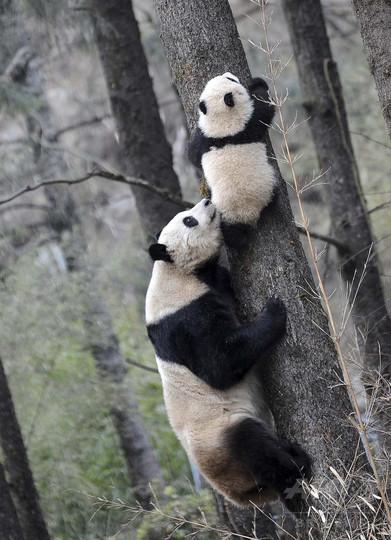メスのパンダ4頭、野外で繁殖実験 成都・保護研究センター