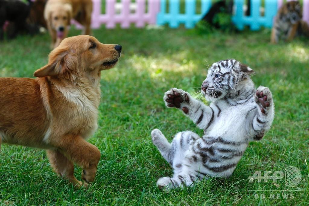 レトリバーお母さんの「八小福」は犬とアムールトラにライオン、ハイエナ 北京