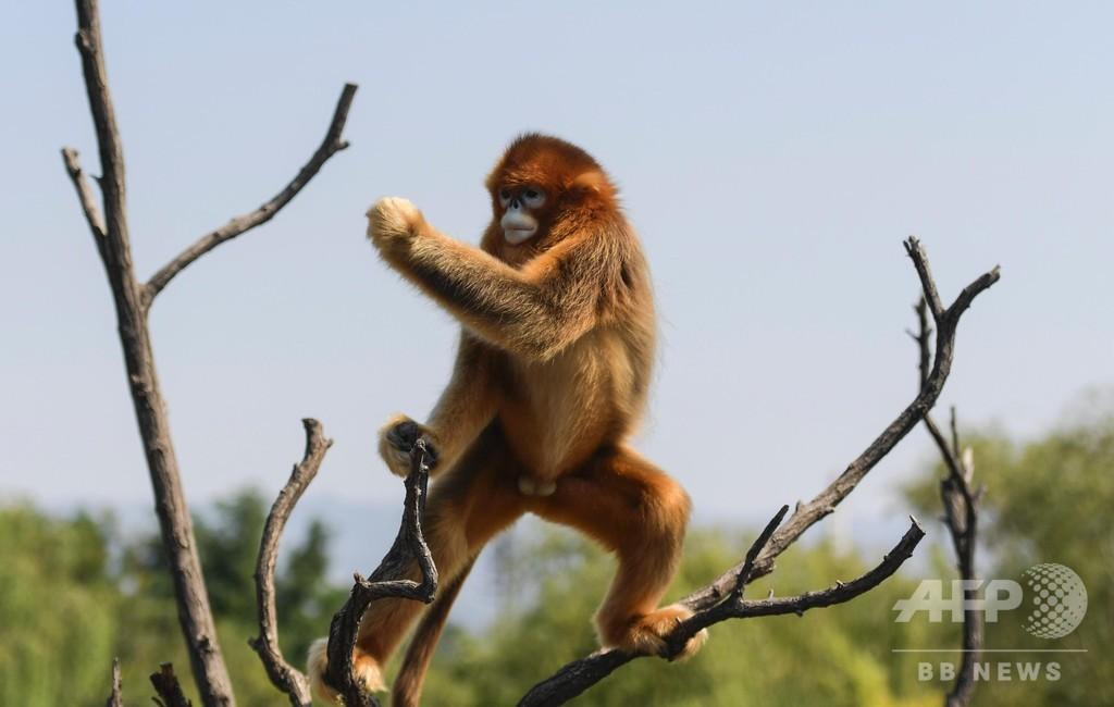 木の上でカンフー? 済南動物園のキンシコウ 山東省