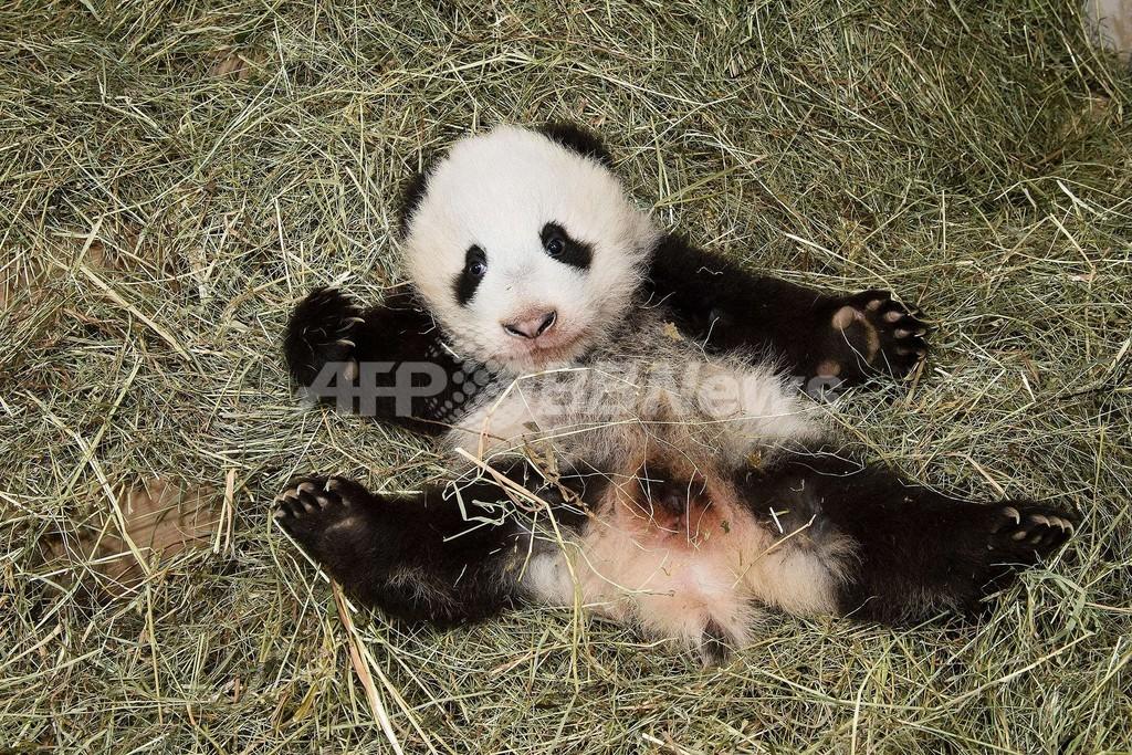 パンダだけど名前は「福豹」、オーストリアの動物園が命名