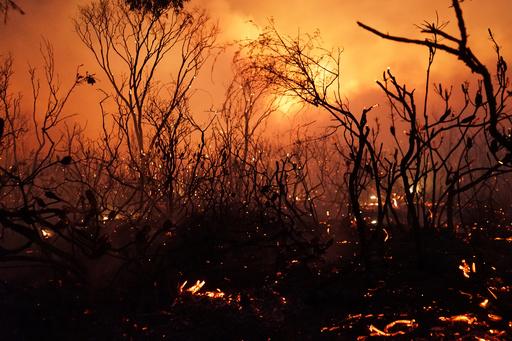 タスマニア森林火災、原生林の古代種に絶滅の恐れ
