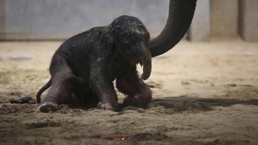 動画:すぐ歩けるよ! 生後間もないアジアゾウの赤ちゃんお披露目 ベルギー