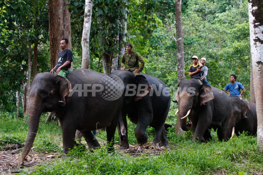 ゾウに乗って「野良ゾウ」のパトロール、インドネシア