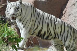 ホワイトタイガー2頭が飼育員かみ殺す インド国立公園
