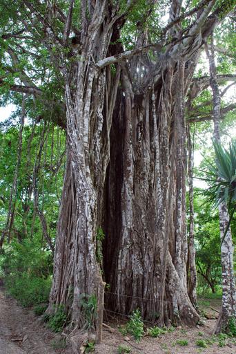 幹の直径21.5メートルの巨木、コスタリカの「並はずれた木」に