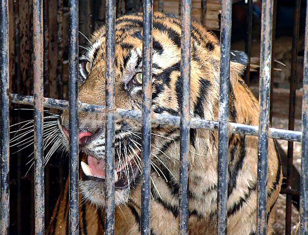 インドネシアの村でトラ被害、関係機関が捕獲も検討