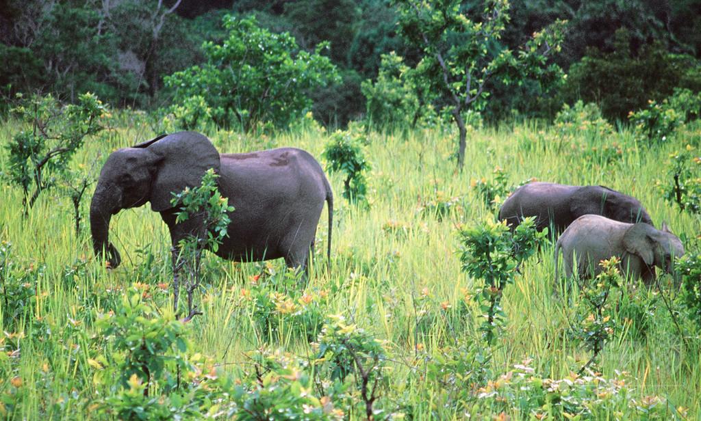 止まらぬマルミミゾウ密猟、10年で生息数80%減 ガボン