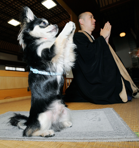 お寺のチワワが合掌のポーズ、沖縄で人気者のコナン君