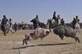 闘牛ならぬ「闘ラクダ」、新年祝う伝統行事 アフガニスタン